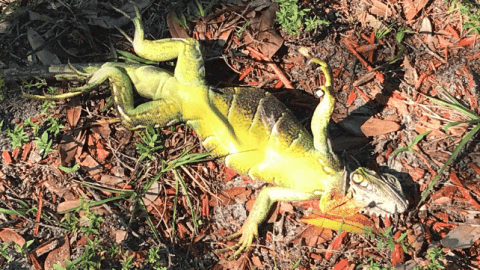 VIDEO: Florida Got So Cold That Iguanas Fell Out Of Trees Until They Warm Up
