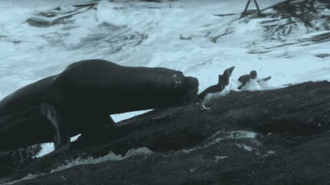 VIDEO: Massive Seal Stumbles Into An All You Can Eat Penguin Buffet