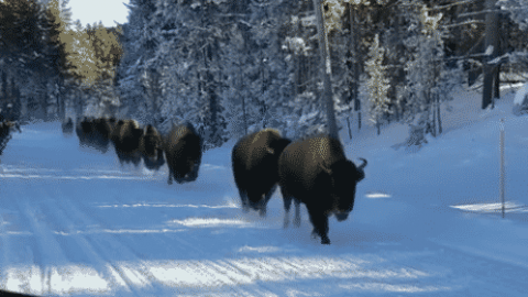 VIDEO: Snowmobilers Discover Stampede of Bison While Riding