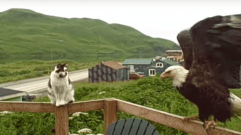 VIDEO: House Cat And Bald Eagle Have Tense Porch Visit