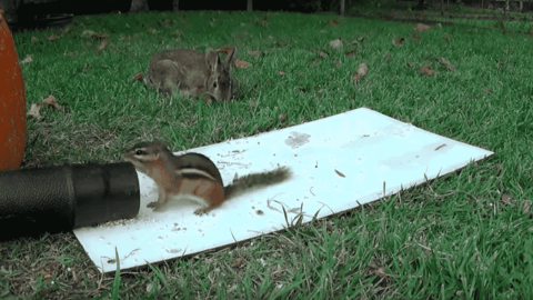 VIDEO: Leaf Blower vs A Chipmunk Is Like A Person Fighting A Tornado