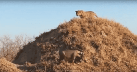 VIDEO: Warthog Ambushed By Leopard After Coming Out Of Its Den