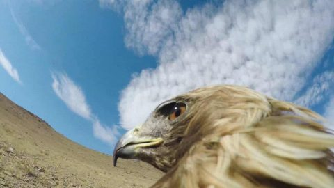 Watch A Golden Eagle Take Down Fox In GoPro POV Video