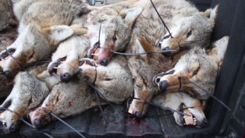 Two Hunters Win $9,240 For Killing 20 Coyotes In Competition