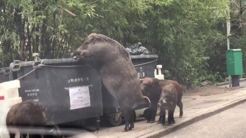 VIDEO: Huge Hog Called 'Pigzilla' Found Eating Out Of A Dumpster