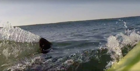 VIDEO: Surfer Nearly Gets Rammed By Great White Shark