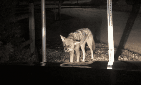 Family Comes Face To Face With Rabid, Snarling Coyote After It Attacks Their Car