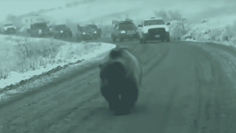 VIDEO: Nothing Slows Traffic Like A Massive Brown Bear Walking In The Middle Of The Road