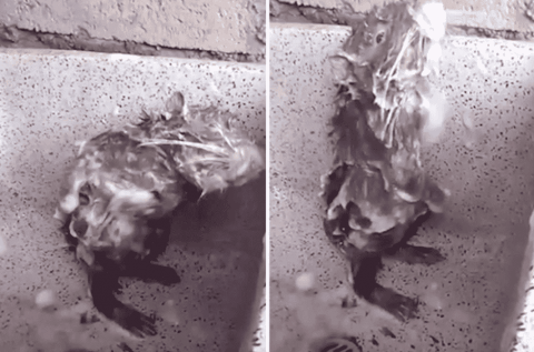 Don't Call Him A Dirty Rat: Rodent Caught 'Showering' In Bathroom Sink