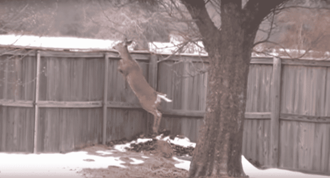 VIDEO: Deer Makes A Backyard Escape By Hopping A 6 Foot Fence