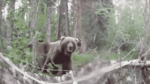 VIDEO: Guy Goes Black Bear Hunting But Finds A Grizzly Instead