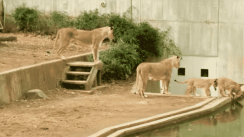 VIDEO: Lion Mom Knocks Cub Into The Water While It's Drinking