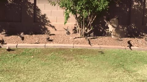 VIDEO: Hawk Swoops Down And Crashes A Quail Grass Seed Buffet