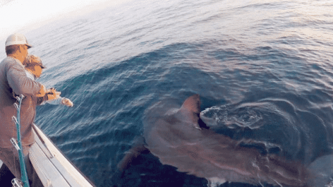 Two-Man Fishing Crew Hooks 16-Foot, 3,000-Pound Great White Shark