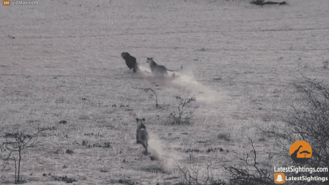 VIDEO: Hyena Stumbles Into Pride Of Lions And Has The Fright Of its Life