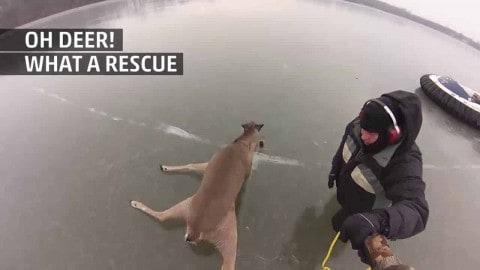 VIDEO: These Men Rescue Three Deer Stranded On A Frozen Lake