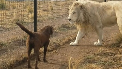 VIDEO: White Lion And Chocolate Lab Shake Paws And Make Up