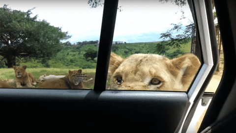 VIDEO: Lion Opens Car Door And Nearly Gives Sisters A Heart Attack
