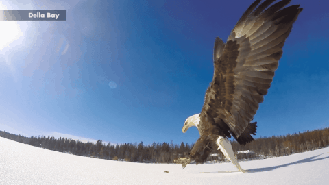 Watch Bald Eagle Make An Impressive Catch As It Swoops Down Over Lake