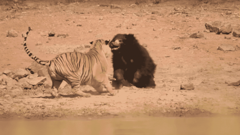 VIDEO: Bear Fights Off Tiger At WaterholeTo Save Its Cub