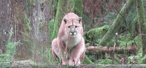 Watch Man Get Stalked By Cougar For Over An Hour