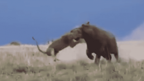 VIDEO: Lions Attempt At Huntin A Hippo Immediately Backfires