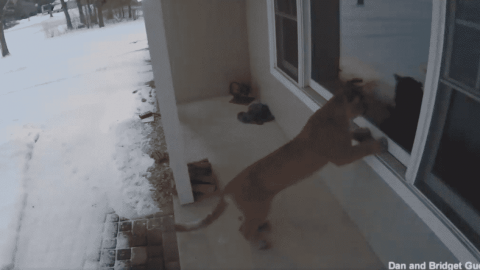 VIDEO: Cougar Walks Up And Scopes Out House