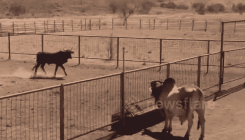 VIDEO: Bull Jumps Seven-Foot Fence And Proves They Don't Stop Him From Doing What He Wants