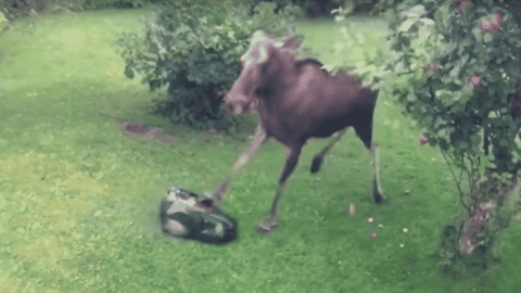 Moose Stomps On A Lawnmower After It Startles Him During Lunch