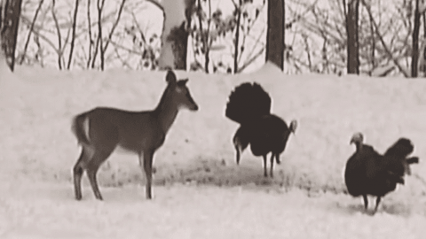 Watch Deer Playing Tag With Two Turkeys On A Snow Day