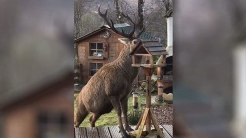VIDEO: Absolutely Massive Bull Elk Feasts On A Backyard Bird Feeder