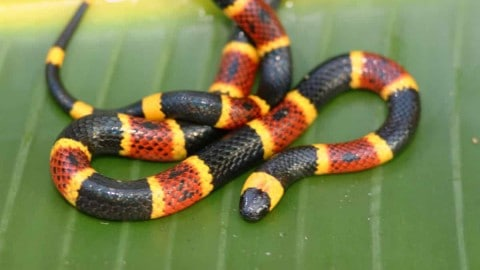 High-School Student Takes Coral Snake To School, Gets Bitten