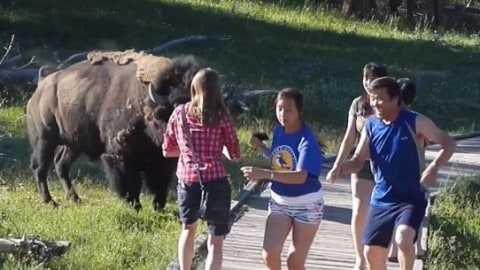 Watch Ticked Off Bison Charge Tourists That Get Too Close For Photo Op