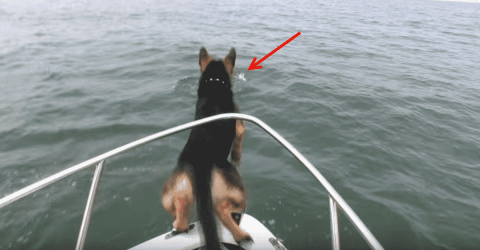 Watch Overexcited Dog Jump Onto Dolphins From Boat
