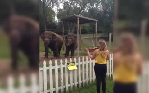 VIDEO: Elephants Can't Help But Dance When The Violin Comes Out