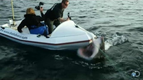 Massive Great White Attacks And Nearly Topples Tiny Boat
