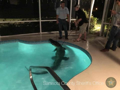 VIDEO: 11-Foot Gator Pulled From Swimming Pool