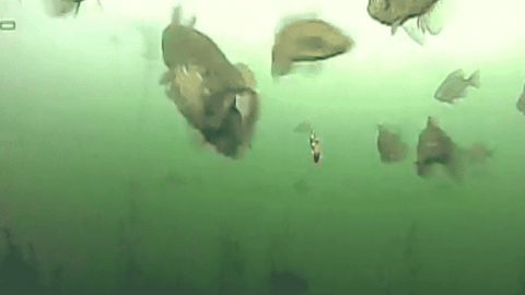 Northern Pike Blasts A Bluegill In Underwater Footage
