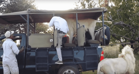 VIDEO: Lion Jumps Inside Safari Truck Full Of Tourists