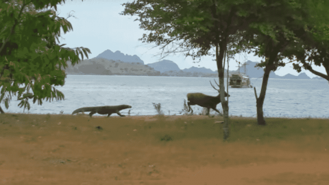 Komodo Dragon Shows Off Impressive Speed While Sprinting After A Deer