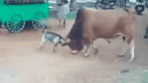 VIDEO: Goat Vs Bull Is A True David And Goliath Fight