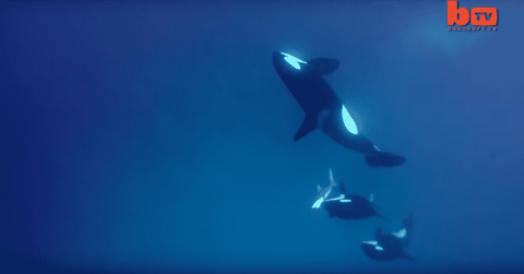 Watch Killer Whale Pod Hunt And Take Down A Tiger Shark