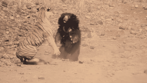 VIDEO: Tiger Fights Sloth Bear In A Seriously Brutal Battle
