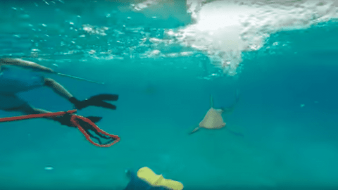 VIDEO: Reef Sharks Attack Spearfishermen And Go After Their Catch
