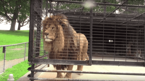 VIDEO: Lion Shows Tourists Just How Annoyed With Them He Is