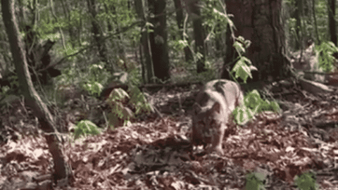 VIDEO: Bobcat Sneaks Up And Ambushes Turkey Hunter