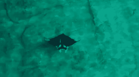 Could This Footage Show A New Species Of Manta Ray?