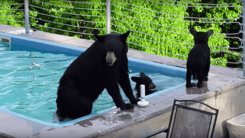 VIDEO: Black Bear Family Has A Chill Day In The Pool