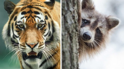 Tiger Spotted Roaming The Street — Wait, It's Just A Large Raccoon