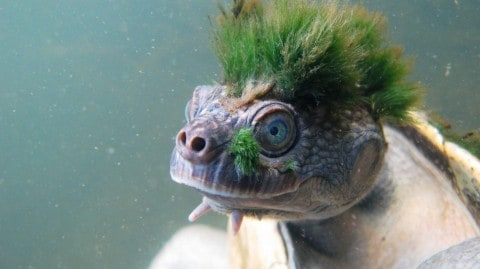 Punk Turtle With A Mohawk Just Wants To Rock Out And Not Go Extinct
